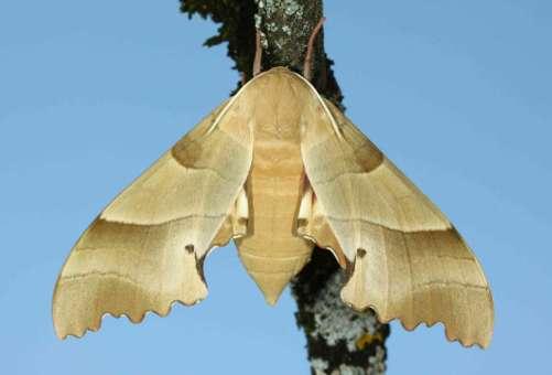 Marumba quercus imago femelle 83630 Bauduen France
