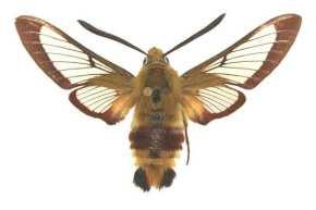 Hemaris fuciformis mâle