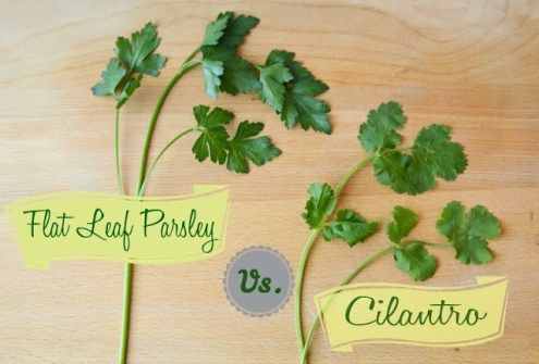 parsley-vs-cilantro-final