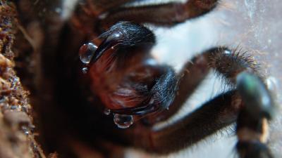 Ephebopus murinus