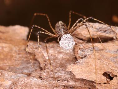 Kokon Scytodes longipes (spitting spider)