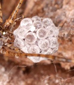 Kokon von Scytodes longipes