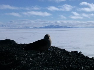 Skua hanging out at Arrival Heights.
