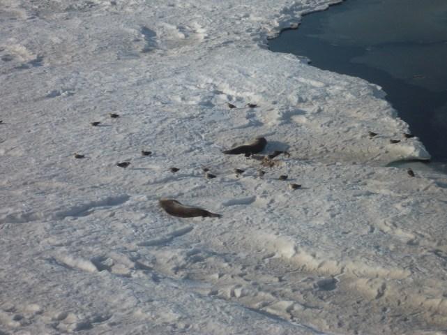 A hoard of skua birds enjoying a feast of seal poop.
