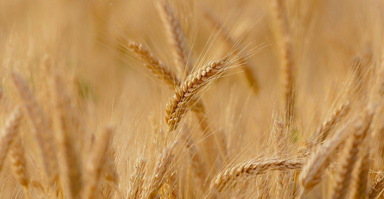 Il grano antico Saragolla