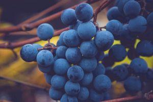 tintilia-uva
