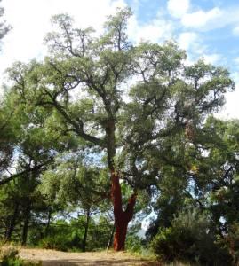 Cork oak, bark has been stripped.