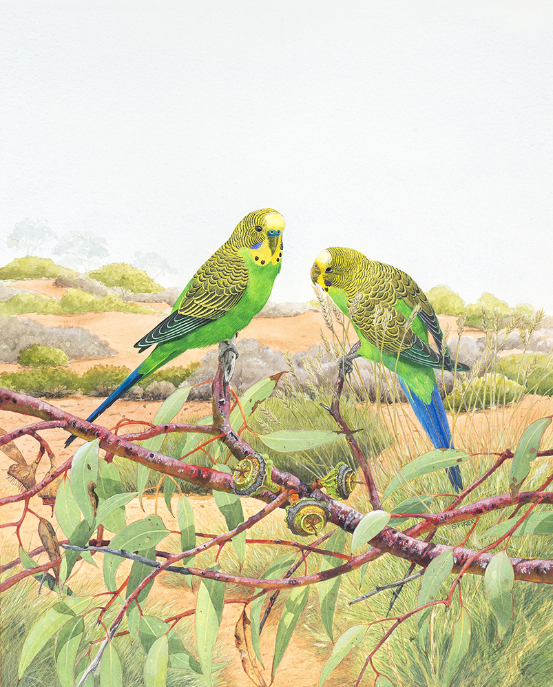 Budgerigar updated watercolour 2 small _D8H6036