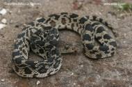 Northern Pine Snake, Pituophis melanoleucus melanoleucus