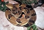 snake_timber_rattlesnake400