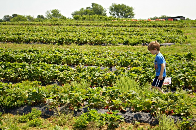 Strawberry Picking Farm Where to go, What to do in Nashville for Family Fun from Spinach Tiger