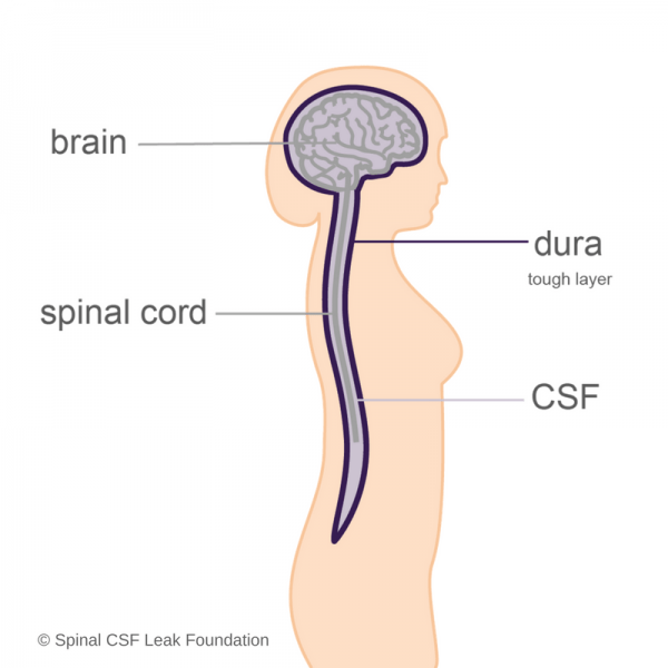 brain-spinal cord-dura-CSF