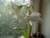Sue's white amaryllis