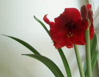 yet another amaryllis is just opening up