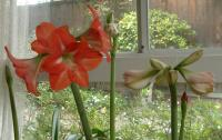 Amaryllis patch