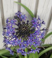 An allium from outer space