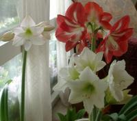 Picotee amaryllis joining the crew