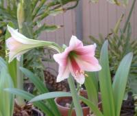 trumpet amaryllis variety