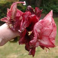 spent amaryllis blossoms that inspired all this