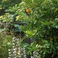 fig and lemon trees=dessert!