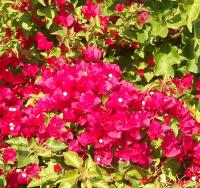 October bougainvillea blossoms