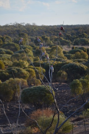 Sunset at escarpments is a great place to see birds coming in to rest and chatter.