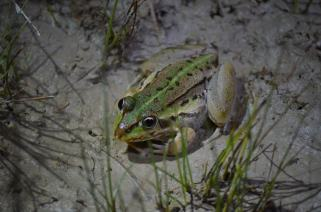Striped burrowing frogs (Cyclorana alboguttata) are everywhere in the springs at night - this is a nice big one.