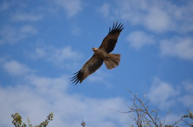 This Whistling Kite swooped right down in front of us whilst we were hunting around in the bushes.