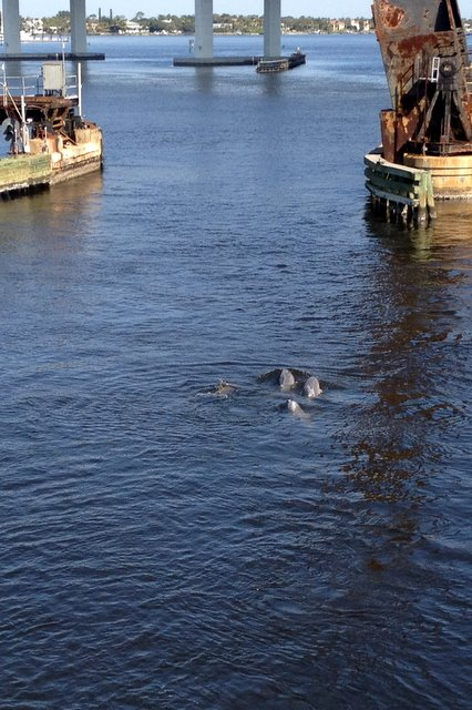 St. Lucie River dolphins