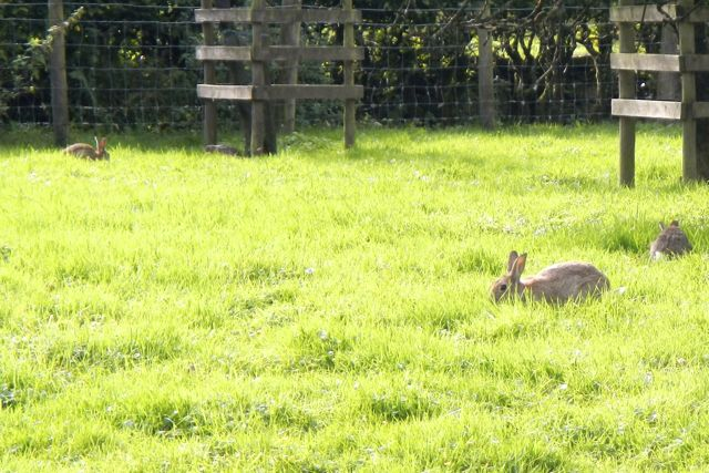 Wild bunnies at Beatrix Potter's farm, Hill Top.