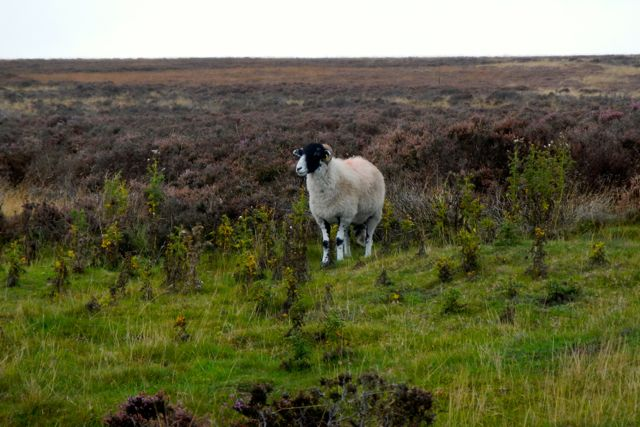 sheep on moors (Yorkshire)