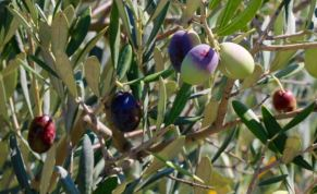 olives turning from green to black