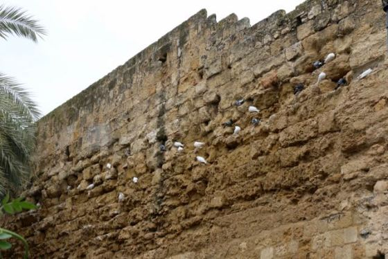 doves in the ancient medieval city wall