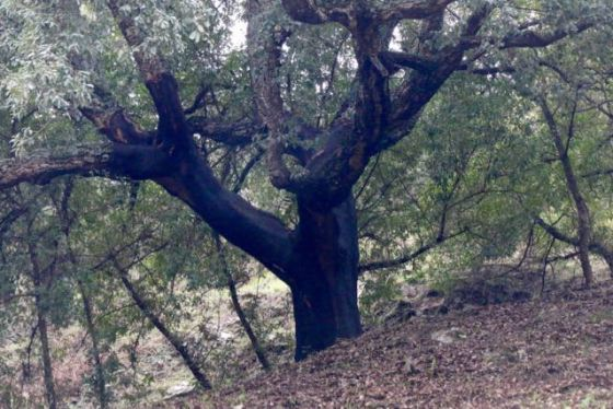 a cork oak is stripped of its bark every 7 years