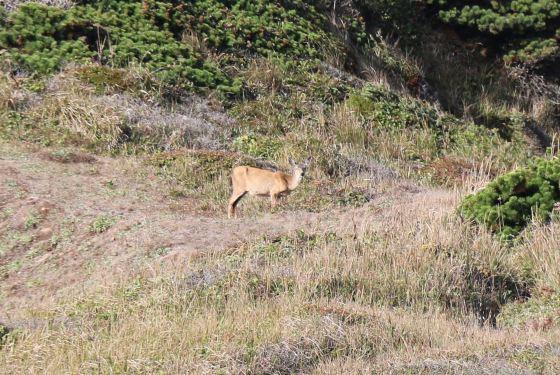 Nope! Mule deer.