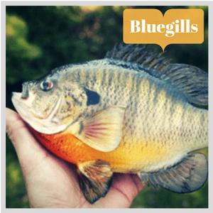 bluegills