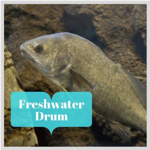freshwater_drum