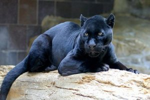 Panther, by CBurnett
