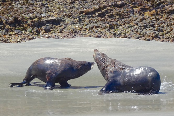 Seals at Wharariki Beach