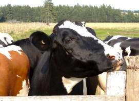 Dairy Cows - PEI