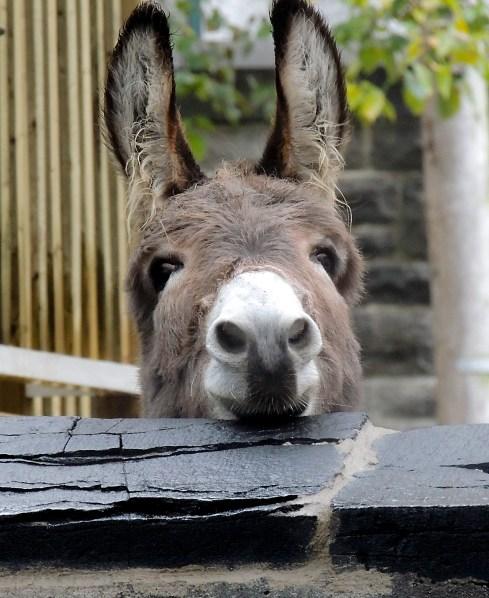 Donkey - Quebec City