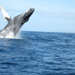 Hawaii Wal-Medizin Whale watching