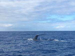 Hawaii Wal-Medizin Whale watching