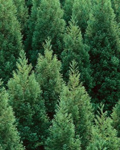 cedartrees