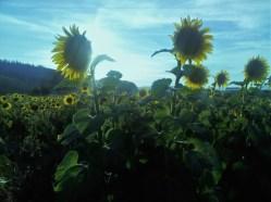 22 Sunflower