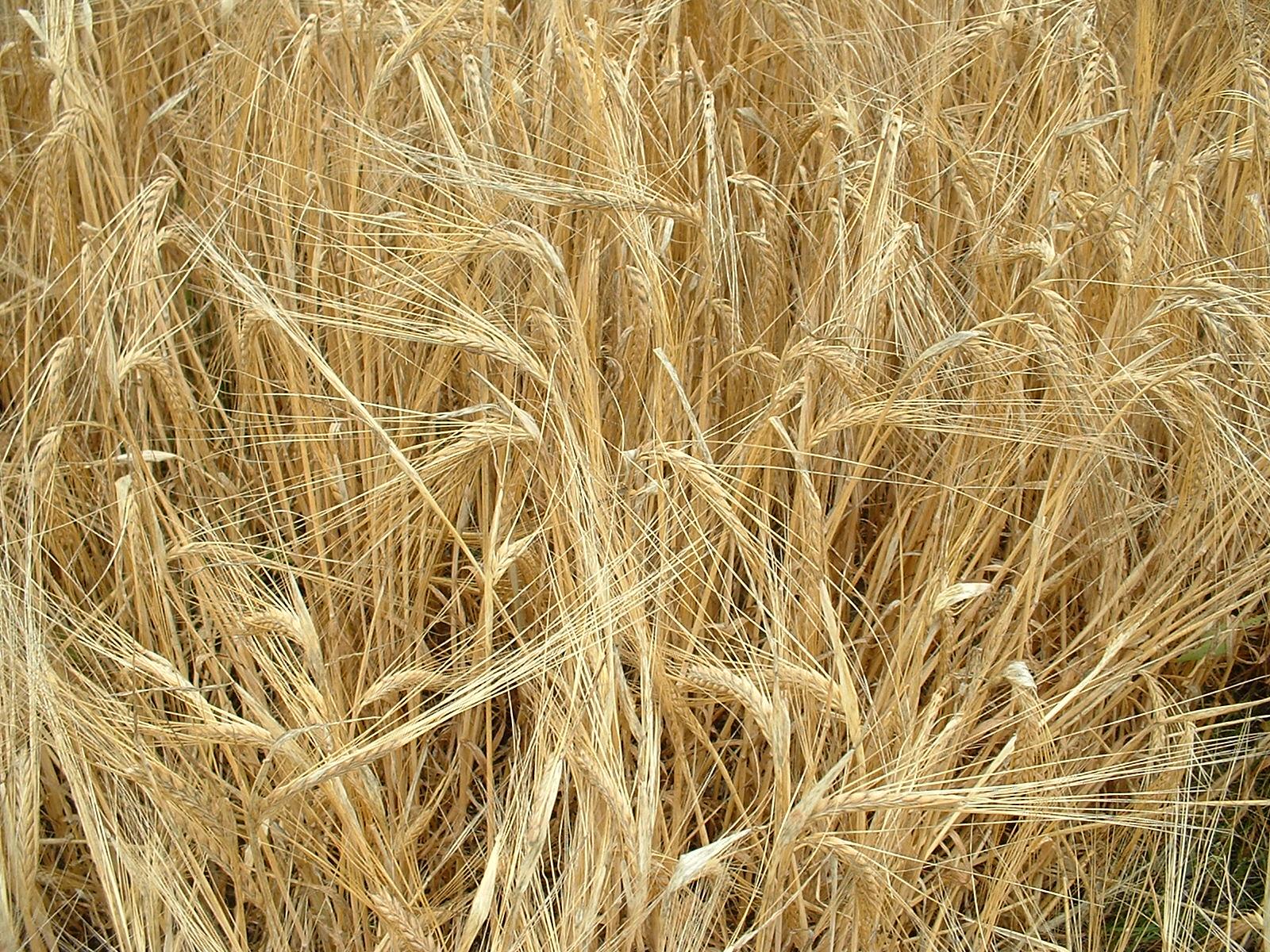 Connie Hunter Urban The New Year The Barley Harvest Spirit Fuel