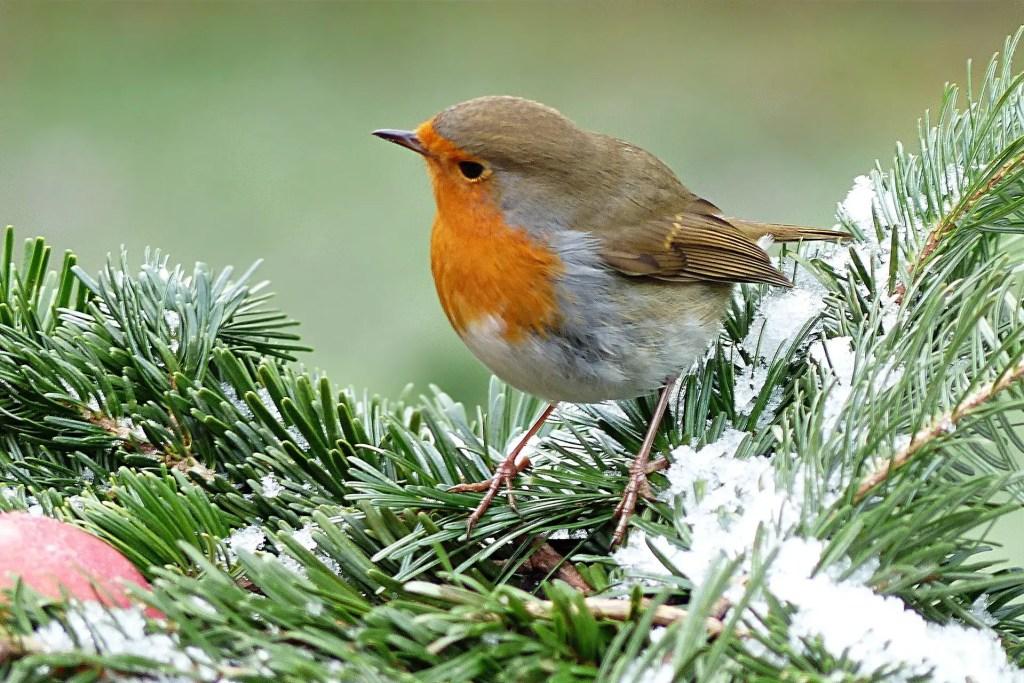 robin red breast symbolism
