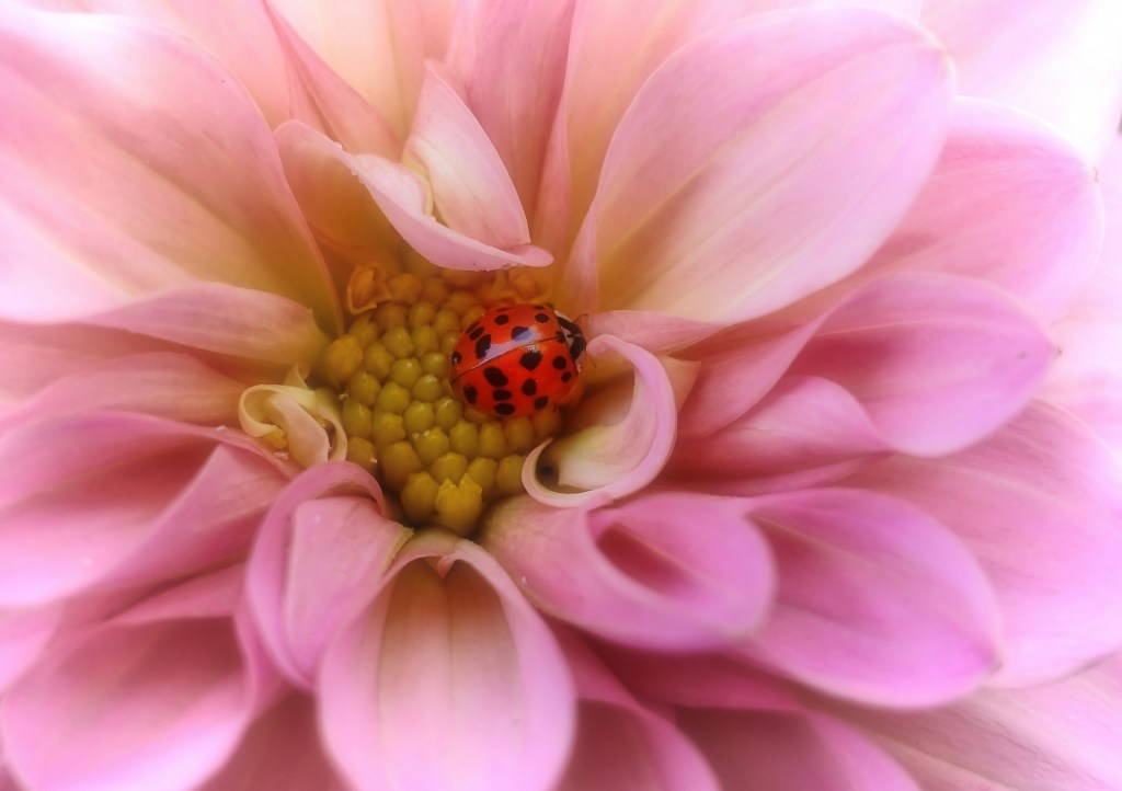 ladybugs totem animals and spirit guides