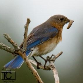 Eastern Bluebird by Tony Crocker