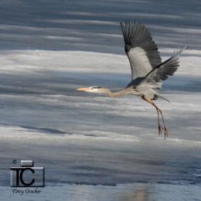 Great Blue Heron by Tony Crocker